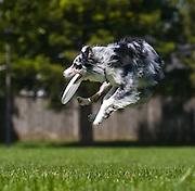 An Australian shepherd dog catches a frisbee.
