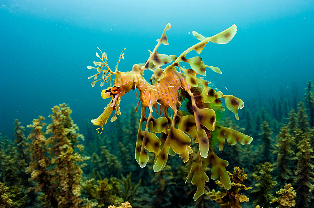 A male Leafy Sea Dragon, Phycodurus eques, heavy with eggs, swims over the sea grass and kelp near the jetty in Edithburgh, South Australia. Image available as a premium quality aluminum print ready to hang.