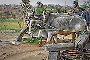 Hard working holy cows in Rajasthan, India