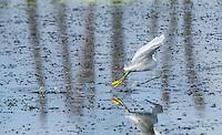 Snowy Egret - Egretta thula, fishing