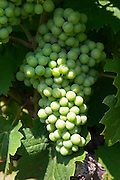 Syrah field grafted on mourvedre mas du notaire rhone france