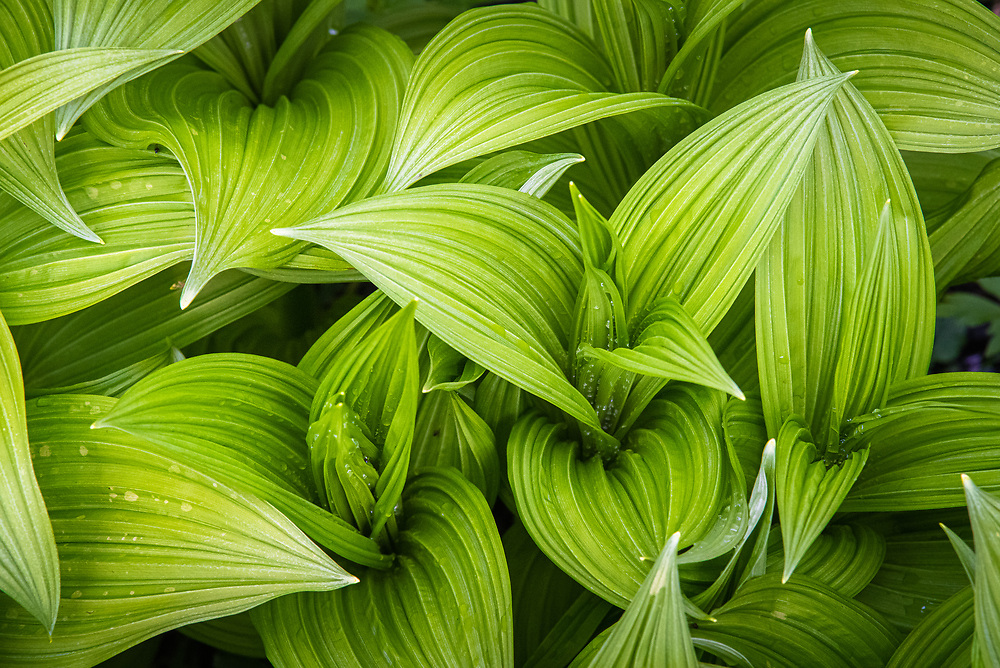 Top down view of the wavy green leaves of veratrum viride, a North American false hellebore, taken in the Cranberry Glades WMA of West Virginia.