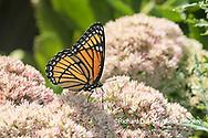 03421-00710 Viceroy (Limenitis archippus) on Autumn Joy Sedum (Sedum spectabile) Marion Co. IL
