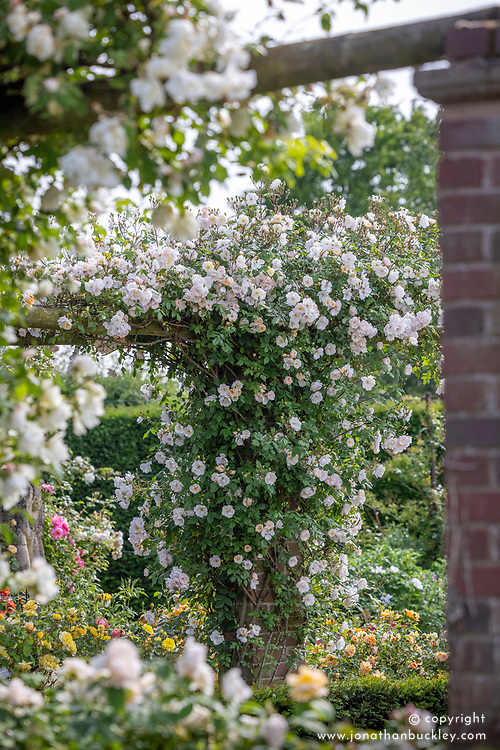 Rosa 'The Lady of the Lake' growing on a pergola