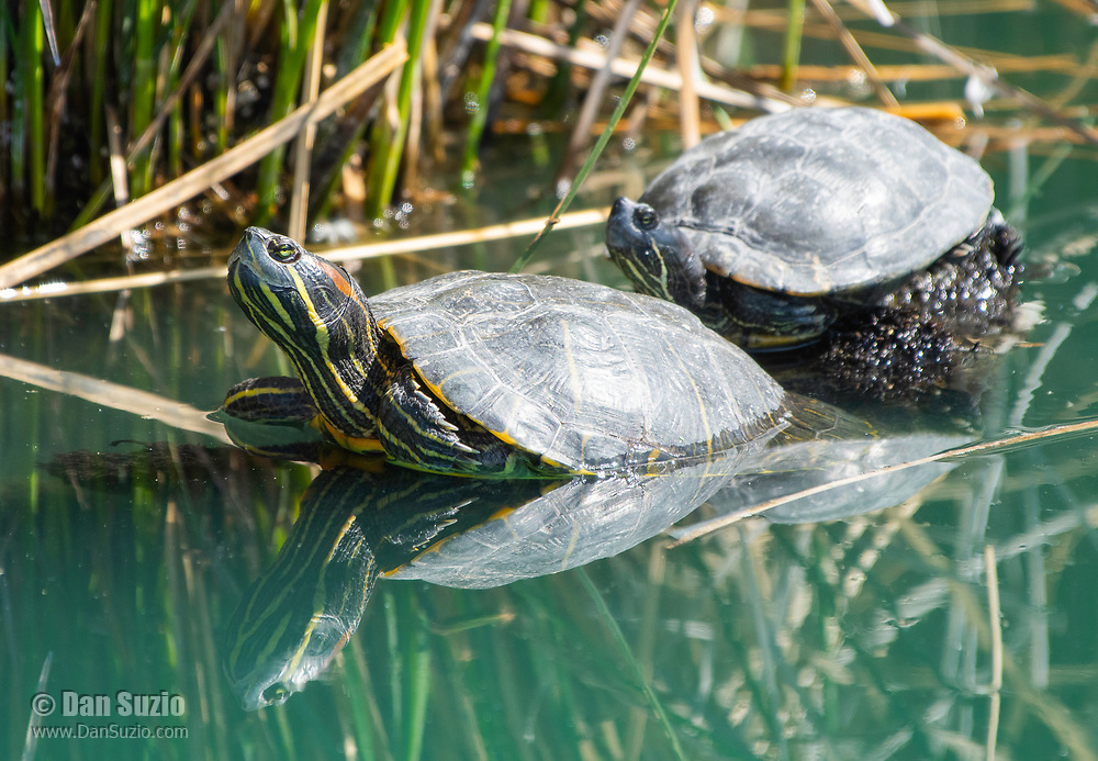 Two Red-eared Sliders, Trachemys scripta elegans, bask on a floating branch in the Riparian Preserve at Water Ranch, Gilbert, Arizona
