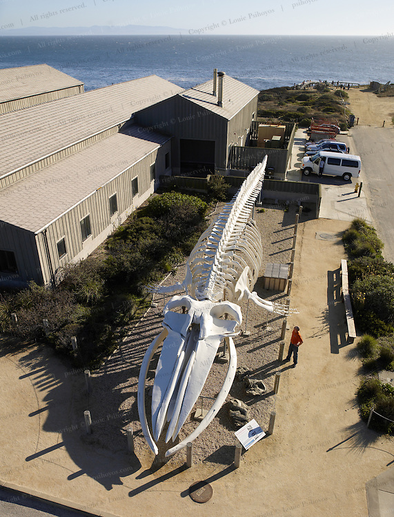 Blue Whale skeleton at the UC Santa Cruz is the centerpiece of the Long Marine Laboratory and the Seymour Marine Discovery Center.  At 87 feet-long it is the largest mounted skeleton in the world.  The whale, called Ms. Blue washed ashore at Fiddlers Cove near Pescadero on Sept. 6th, 1979