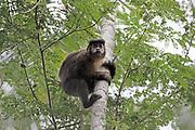 Black Capuchin, Sapajus nigritus, Brazil