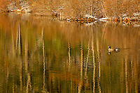 A Canada Goose swims through the reflected forest in Walden Pond in winter.