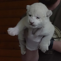 Doctor inspects the youngest white lion cub at the Zoo Szeged in Szeged (about 150 kilometres South of capital city Budapest), Hungary on May 24, 2019. ATTILA VOLGYI