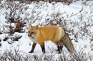 01871-02809 Red Fox (Vulpes vulpes) in snow in winter, Churchill Wildlife Management Area, Churchill, MB Canada