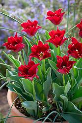 Tulipa 'Red Dress' in a terracotta pot