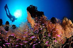 Pseudanthias tuka, Taucherin am bunten Korallenriff mit Purpur-Fahnenbarschen und Weichkorallen, scuba diver with colorful coral reef and Purple queen and soft corals, Bali, Indonesien, Indopazifik, Bali, Indonesia Asien, Indo-Pacific Ocean, Asia