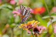 03006-00416 Zebra Swallowtail (Protographium marcellus) on Zinnia Union Co. IL