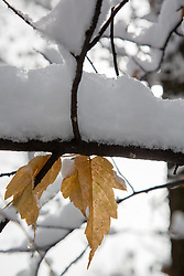 first snowfall on a tree in New Mexico