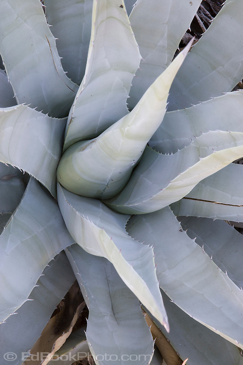 Agave plant (Agave Americana) also known as Century Plant and Aloe in the Anza Borrego Desert, California, USA