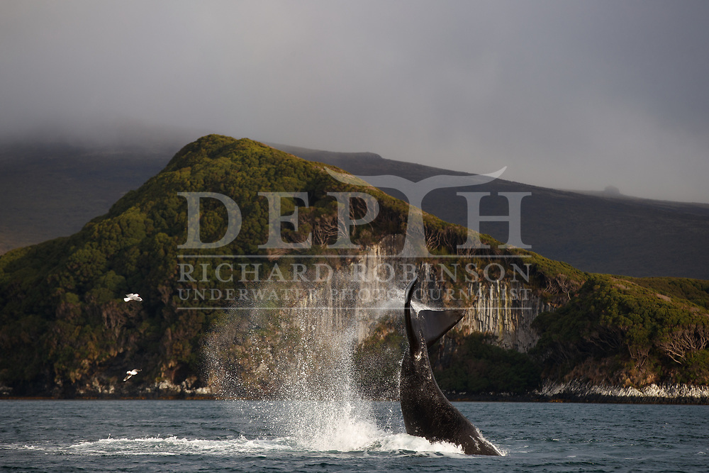Tohora - Eubalaena australis (Southern Right Whale) expedition at Port Ross in the subantarctic Auckland Islands, New Zealand.<br /> Tuesday 13 July 2001.<br /> Photograph Richard Robinson © 2021.<br /> Rights managed image. No Reproduction without prior written permission.