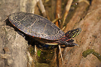 A colourful Painted Turtle in the revitalized Don Valley Brick Works Park near downtown Toronto.
