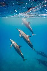Long-snouted Spinner Dolphins, Stenella longirostris, Ho`okena Beach Park, Kona Coast, Big Island, Hawaii, Pacific Ocean