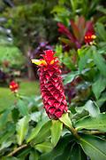 Ginger, Senator Fong's Plantation Garden