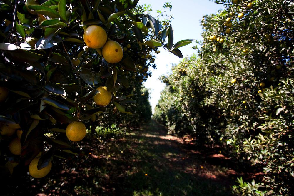 Frutal_MG, Brasil...Plantacao de laranja em Frutal, Minas Gerais...The orange agriculture in Frutal, Minas Gerais...Foto: LEO DRUMOND / NITRO
