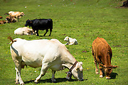 Alpine cattle on the Ofenpass, Pass dal Fuorn, in the Val Mustair part of the Swiss National Park, Switzerland