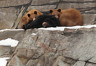 Bear Mountain, New York - Three bears rest in their enclosure at the Bear Mountain Zoo in  Bear Mountain State Park on  Feb. 20, 2007.