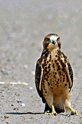 A juvenile Swainson's hawk sits in the middle of a dirt road in the Table Mountain Widlife Habitat Management Area on August 4, 2017 in Wyoming.
