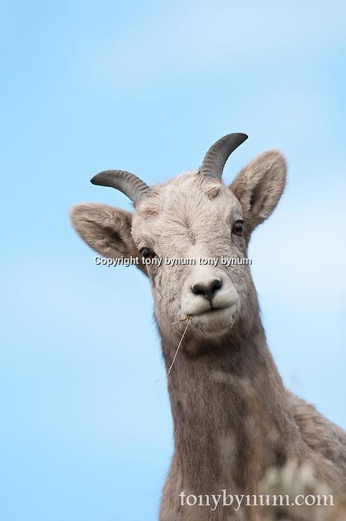 ewe standing, wild rocky mountain big horn sheep