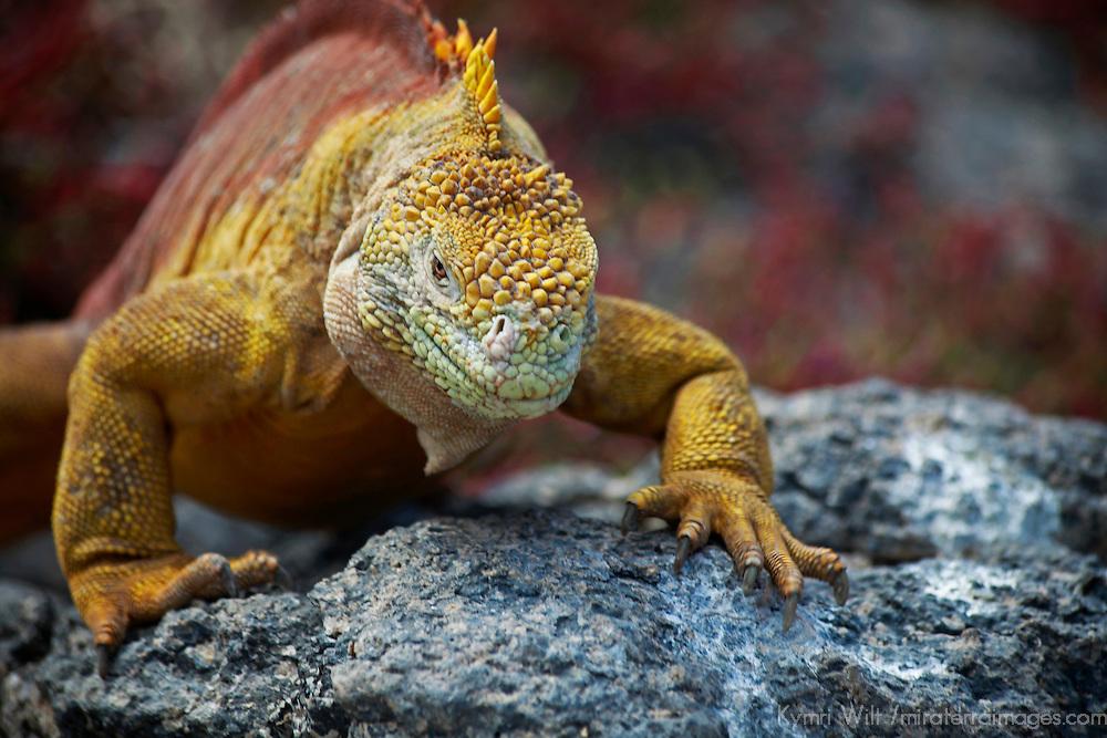 South America, Ecuador, Galapagos Islands. Land Iguana of South Plaza Island.