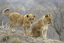 July 7, 2015 - African Lions, cubs, Sabi Sand Game Reserve, South Africa / (Panthera leo) / cub (Credit Image: © Tuns/DPA/ZUMA Wire)
