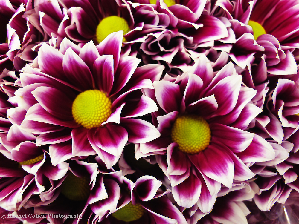 """""""Wild About Flowers""""<br /> <br /> Brilliant purple, white, and yellow flowers!<br /> <br /> Flowers by Rachel Cohen"""