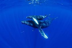 humpback whale, lobtailing, Megaptera novaeangliae, Hawaii, Pacific Ocean