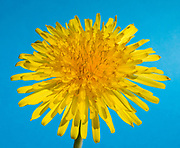Close up abstract of a single flower of a common dandelion (Taraxacum officinale) set against a blue background in a Norfolk garden
