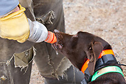 John Zeman waters his German Shorthair, Frank, while hunting pheasants on a Minnesota public hunting area.