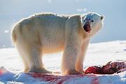 A backlit polar bear (Ursus maritimus) on sea ice with a seal kill, Spitsbergen, Svalbard, Norway