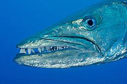Sphyraena qenie, Dunkelflossen Barrakuda, Blackfin Barracuda, Bali, Indonesien, Indopazifik,Tulamben, Bali, Indonesien, Indopazifik, Idonesia, Asien, Indo-Pacific Ocean, Asia
