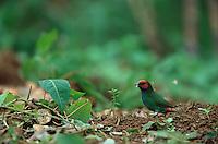 Fiji Parrotfinch (Erythrura pealii) foraging on the ground on Viti Levu Island, Fiji.