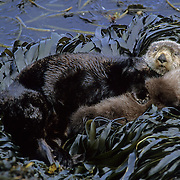 Sea Otter (Enhydra lutris) mother and her baby on seaweed-covered rocks. Aleutian Islands, Alaska