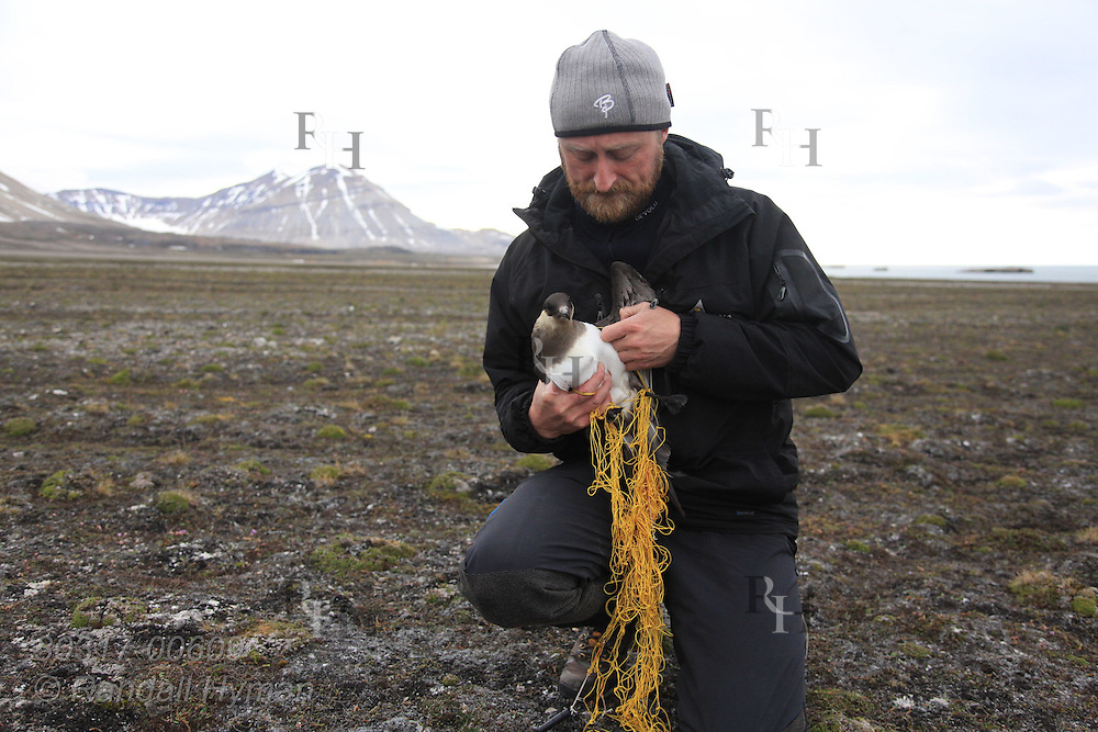 Biologist Sveinn Are Hanssen (Norwegian Institute for Nature Research) untangles Arctic skua (Stercorarius parasiticus) after snagging it in the air with net cannon; Kongsfjorden, Svalbard.