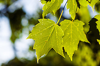 A beautiful green Maple Leaf hangs high in the sky.<br /> <br /> ©2012, Sean Phillips<br /> http://www.RiverwoodPhotography.com
