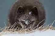 Femaile Arctic fox in Iceland. Sometimes called mountain-fox.