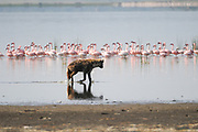 A Spotted Hyena (Crocuta crocuta) in the lake stalking Flamingos, Photographed at Lake Nakuru National Park, Kenya
