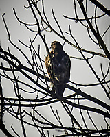 Sharp-shined Hawk. Image taken with a Nikon D5 camera and 600 mm f/4 VRII lens