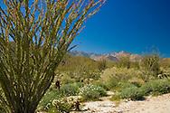 Occotillo in springtime in the Anza-Borrego Desert, California, USA