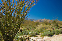 Occotillo in springtime in the Anza-Borrego Desert, California, USA