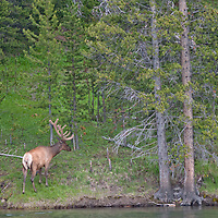 A Bull Elk (Cervus canadensis) walks beside the Yellowstone River in Yellowstone National Park.