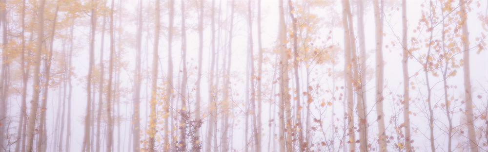 Yellow leaves on trees in deep fog