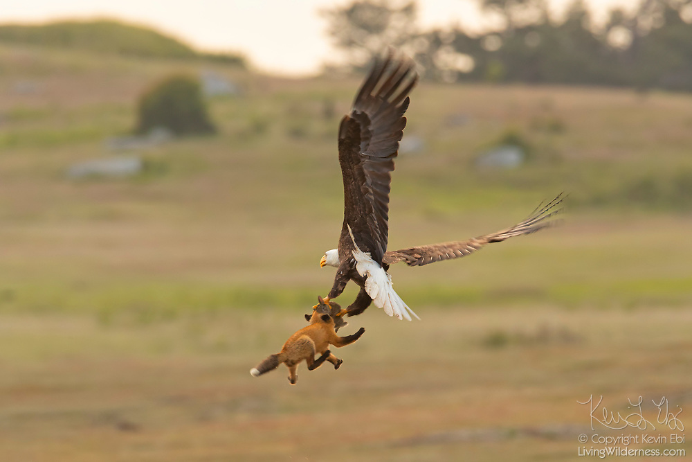 A bald eagle and a red fox tussle in midair over a European rabbit in San Juan Island National Historical Park in Washington state. The fight began when the bald eagle attempted to steal the rabbit away from the young fox, known as a kit. When the bald eagle grabbed the rabbit, it inadvertently also caught the fox, lifting both more than 20 feet into the air. The fox swung back and forth trying to take the rabbit back. The bald eagle released the fox and flew off with the rabbit. The whole struggle lasted 8 seconds. Both European rabbits (Oryctolagus cunuculus) and red foxes (Vulpes vulpes) were introduced to San Juan Island. The rabbits were introduced to the island in the 1890s by settlers; foxes were introduced occasionally in the 1900s. The European rabbits in particular are considered an invasive species, turning the prairie into an unsustainable barren landscape with their vast burrows. This displaces small native mammals, such as the Townsend's vole. While bald eagles and foxes occasionally hunt rabbits, it is a relatively rare occurrence. Up to 97 percent of an eagle's diet consists of fish and birds; red foxes more commonly eat berries, insects and small mammals, like the vole.