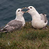 Two Northern Fulmars at the Látrabjarg birdcliffs. Fulmar chicks are known for their caracteristic defence mechanism, which consists to spit a gastric orange oil against predators.