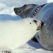 Harp Seal, (Pagophilus groenlandicus) Female nurses pup on ice. Spring. Nova Scotia. Canada.